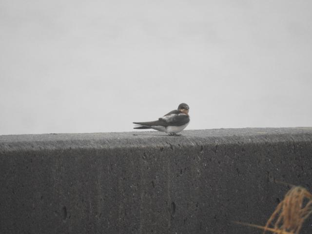 soku_35276.jpg :: 小鳥 動物 鳥 野鳥 自然の鳥