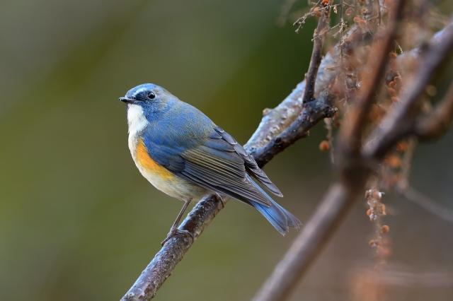 soku_35360.jpg :: 動物 鳥 野鳥 自然の鳥 ルリビタキ