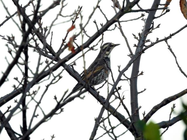 soku_35412.jpg :: ツグミ 動物 鳥 野鳥 自然の鳥
