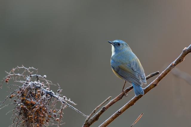 soku_35431.jpg :: 動物 鳥 野鳥 自然の鳥 ルリビタキ