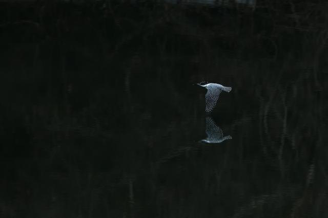 soku_35526.jpg :: 動物 鳥 野鳥 自然の鳥 ヤマセミ