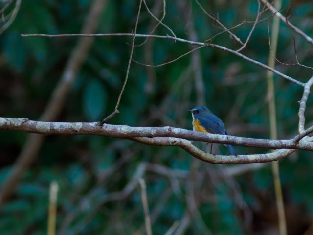 soku_35530.jpg :: 動物 鳥 野鳥 自然の鳥 ルリビタキ