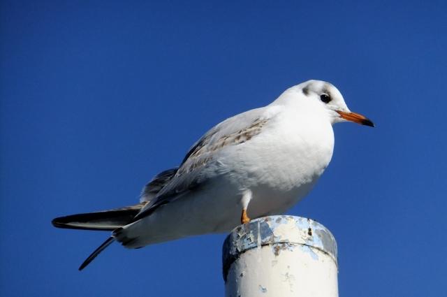 soku_35532.jpg :: 動物 野鳥 カモメ科 ユリカモメ