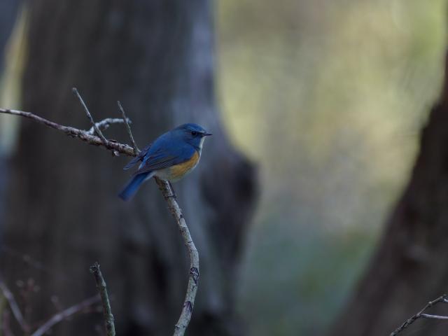 soku_35546.jpg :: 動物 鳥 野鳥 自然の鳥 ルリビタキ