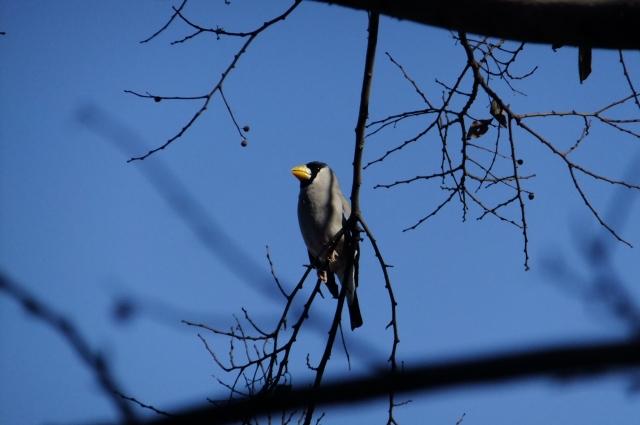 soku_35552.jpg :: 動物 野鳥 アトリ科 イカル