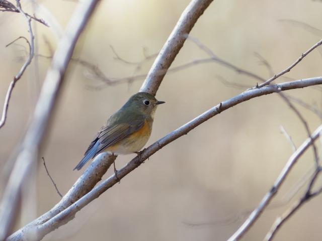 soku_35560.jpg :: 動物 鳥 野鳥 自然の鳥 ルリビタキ