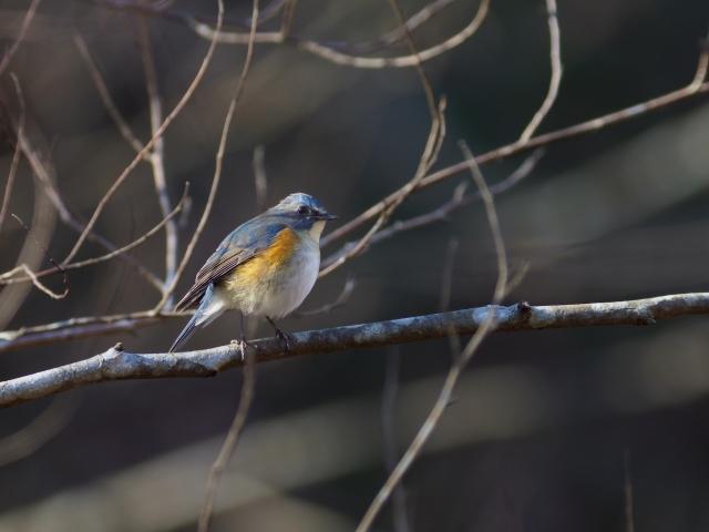 soku_35561.jpg :: 動物 鳥 野鳥 自然の鳥 ルリビタキ