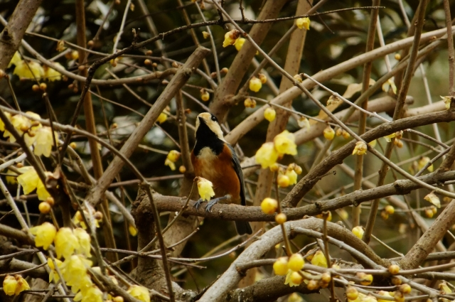 soku_35583.jpg :: 動物 野鳥 シジュウカラ科 ヤマガラ ロウバイ