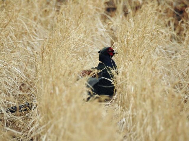 soku_35618.jpg :: 動物 鳥 野鳥 自然の鳥 キジ