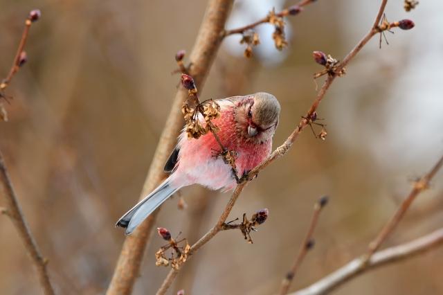 soku_35620.jpg :: 動物 鳥 野鳥 自然の鳥 ベニマシコ