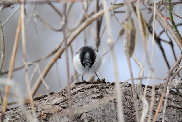 soku_35695.jpg :: 動物 鳥 野鳥 自然の鳥 エナガ