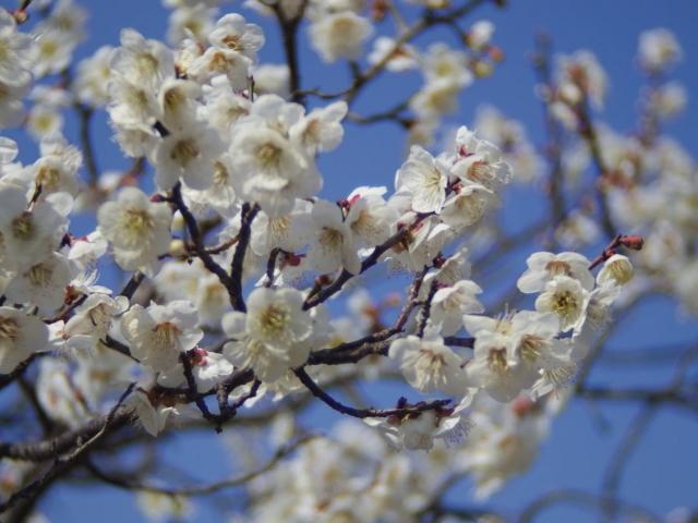 soku_35715.jpg :: 植物 花 梅 ウメ