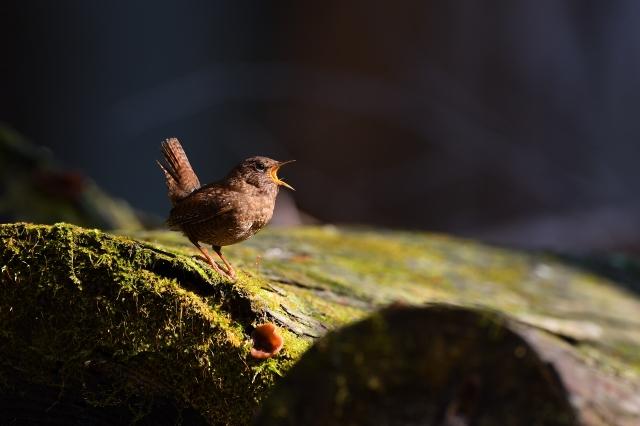 soku_35791.jpg :: 動物 鳥 野鳥 自然の鳥 ミソサザイ