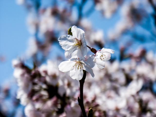 soku_35846.jpg :: 植物 花 桜 サクラ 花びら