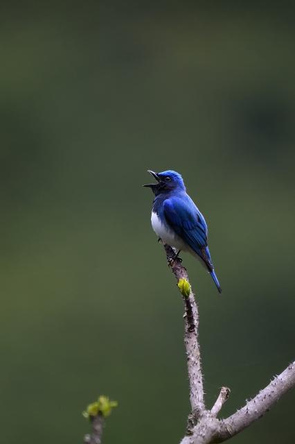 soku_35855.jpg :: 動物 鳥 野鳥 自然の鳥 オオルリ