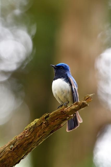soku_35857.jpg :: 動物 鳥 野鳥 自然の鳥 オオルリ