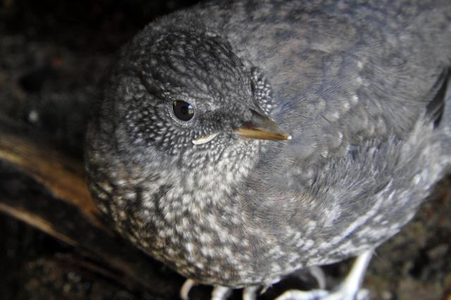 soku_35931.jpg :: カワガラス 動物 鳥 野鳥 自然の鳥