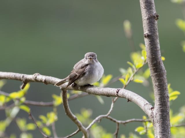 soku_36007.jpg :: 動物 鳥 野鳥 自然の鳥 コサメビタキ