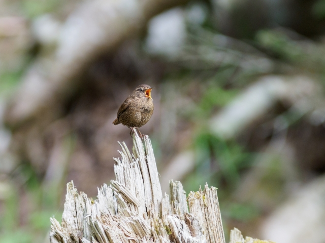soku_36079.jpg :: 動物 鳥 野鳥 自然の鳥 ミソサザイ