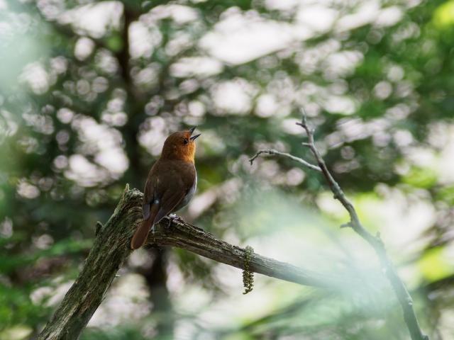 soku_36080.jpg :: 動物 鳥 野鳥 自然の鳥 コマドリ