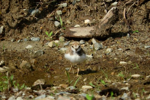 soku_36084.jpg :: 動物 鳥 野鳥 自然の鳥 コチドリ