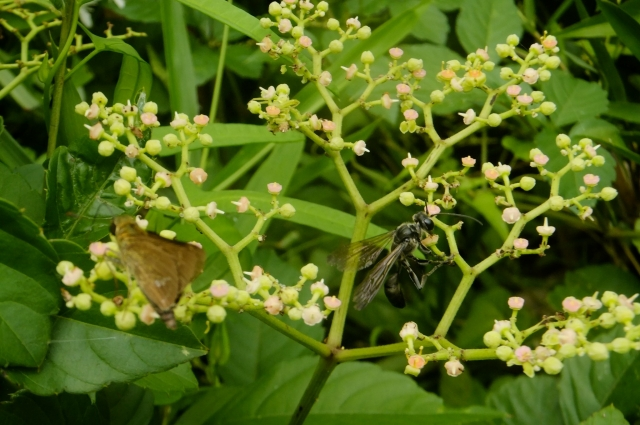 soku_36175.jpg :: 動物 昆虫 蜂 アナバチ科 クロアナバチ