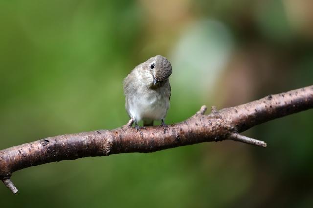 soku_36203.jpg :: 動物 鳥 野鳥 自然の鳥 コサメビタキ