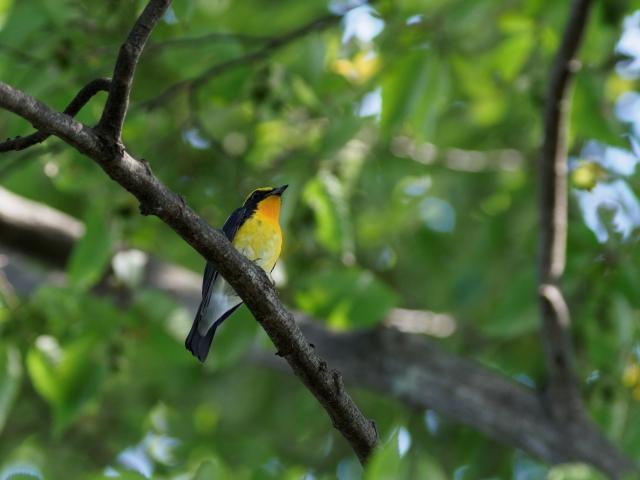 soku_36207.jpg :: 動物 鳥 野鳥 自然の鳥 キビタキ