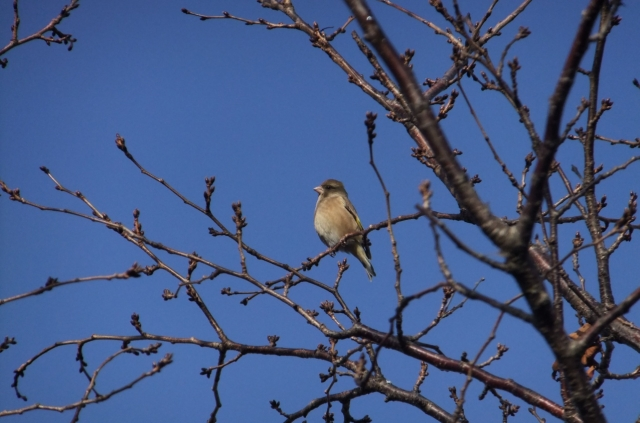 soku_36301.jpg :: 動物 野鳥 アトリ科 オオカワラヒワ♀