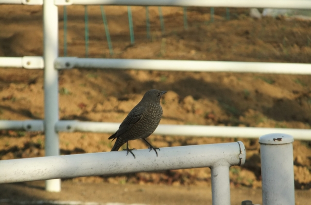 soku_36305.jpg :: 動物 野鳥 ヒタキ科 イソヒヨドリ♀