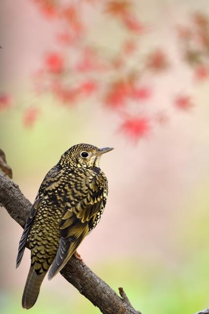 soku_36309.jpg :: 動物 鳥 野鳥 自然の鳥 トラツグミ