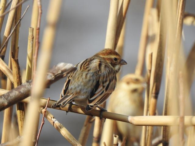 soku_36327.jpg :: 野鳥 ホオジロ科 オオジュリン