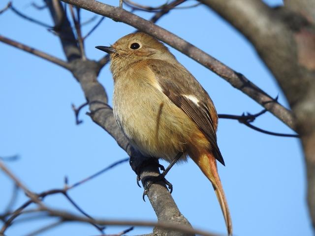 soku_36328.jpg :: 野鳥 ヒタキ科 ジョウビタキ