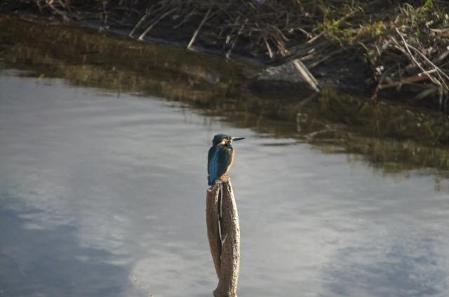 soku_36338.jpg :: 動物 野鳥 カワセミ科 カワセミ♂