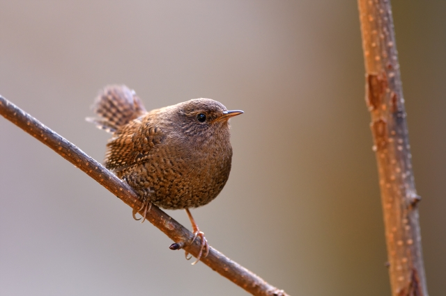 soku_36355.jpg :: 動物 鳥 野鳥 自然の鳥 ミソサザイ