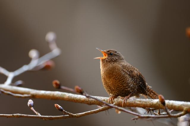 soku_36356.jpg :: 動物 鳥 野鳥 自然の鳥 ミソサザイ