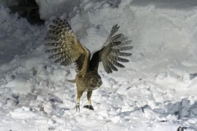 soku_36361.jpg :: 動物 鳥 猛禽類 捕食
