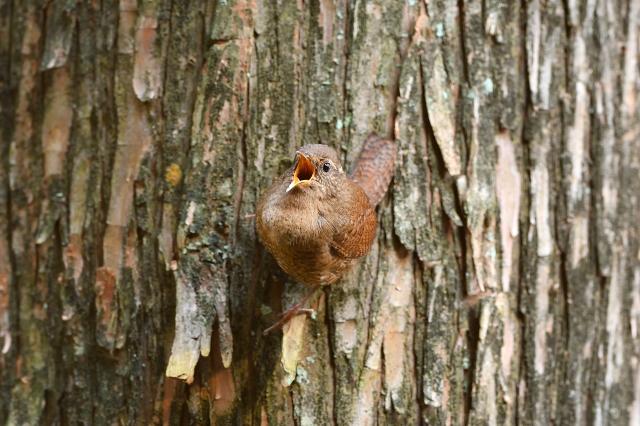 soku_36367.jpg :: 動物 鳥 野鳥 自然の鳥 ミソサザイ
