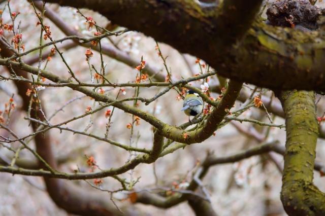 soku_36424.jpg :: 梅 堤梅団地 野鳥 シジュウカラ