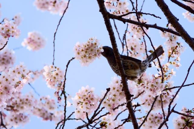 soku_36460.jpg :: 桜 野鳥