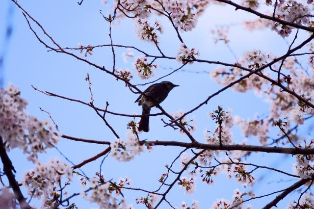 soku_36461.jpg :: 桜 野鳥