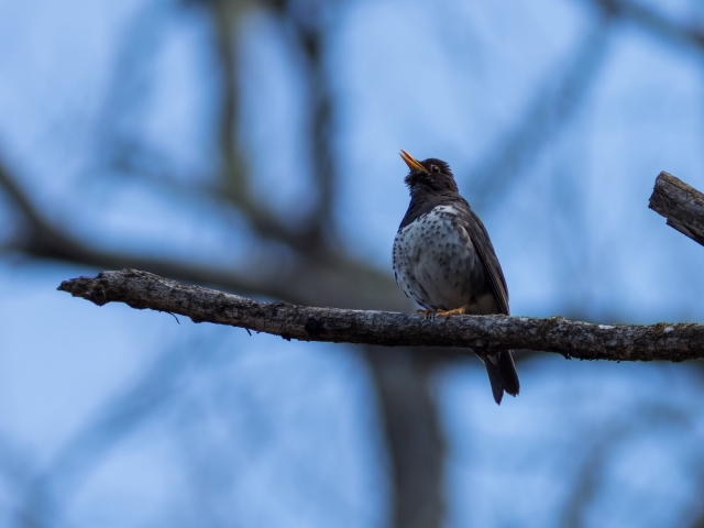 soku_36534.jpg :: 動物 鳥 野鳥 自然の鳥 クロツグミ