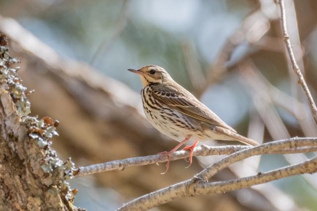 soku_36538.jpg :: 動物 鳥 野鳥 自然の鳥 ビンズイ