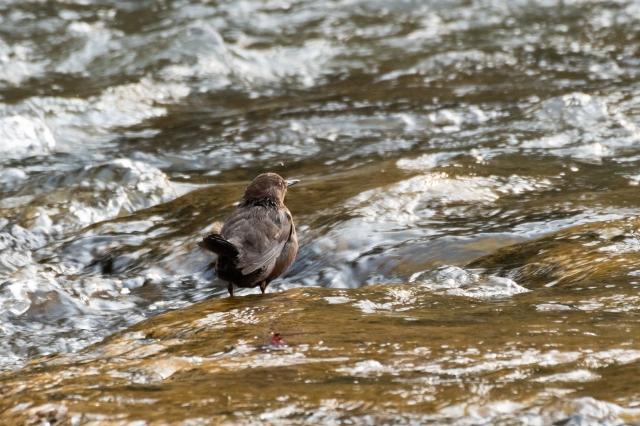 soku_36540.jpg :: 動物 鳥 野鳥 自然の鳥 カワガラス