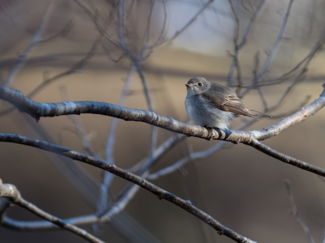 soku_36541.jpg :: 動物 鳥 野鳥 自然の鳥 コサメビタキ