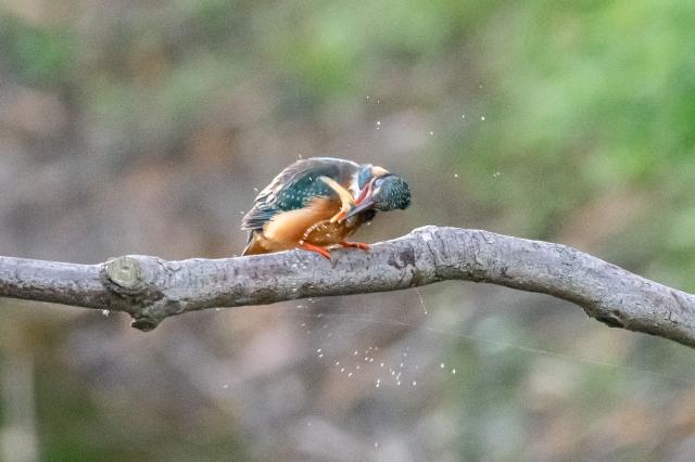 soku_36545.jpg :: 動物 鳥 野鳥 自然の鳥 カワセミ