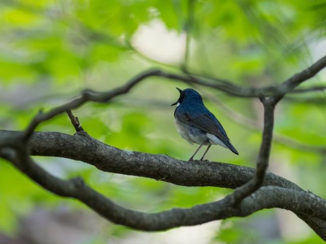 soku_36562.jpg :: 動物 鳥 野鳥 自然の鳥 コルリ