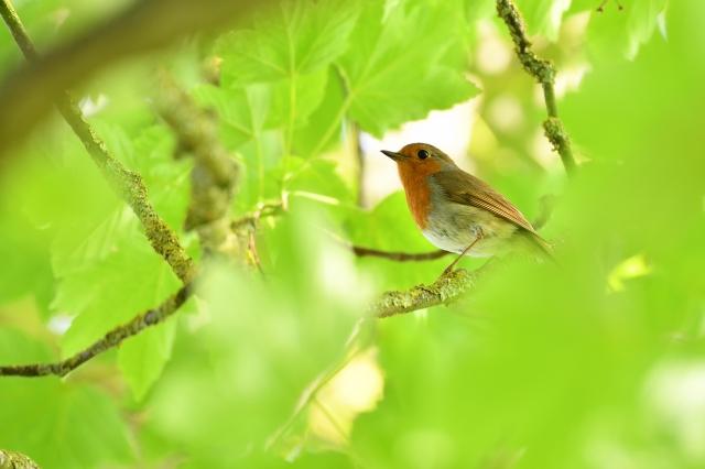 soku_36568.jpg :: 動物 鳥 野鳥 自然の鳥 ヨーロッパコマドリ