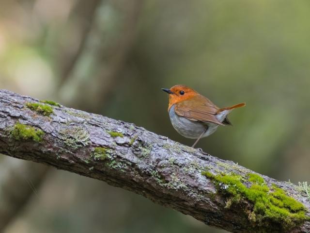 soku_36576.jpg :: 動物 鳥 野鳥 自然の鳥 コマドリ