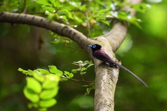 soku_36587.jpg :: 動物 鳥 野鳥 自然の鳥 サンコウチョウ